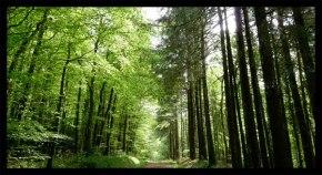 Forêt du Cranou - photo des Amis du Stum.